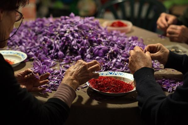 Saffron Harvest In Castilla La Mancha Region | Agriculture and Forestry