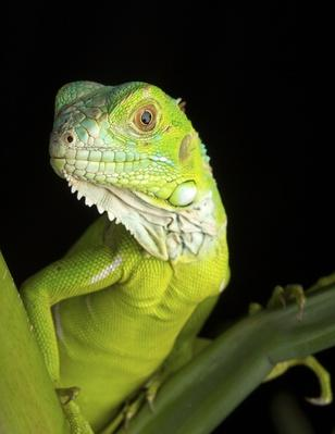 Green Iguana on folliage | Animals, Habitats, and Ecosystems