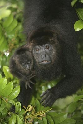 Black-howler monkey, Alouatta pigra | Animals, Habitats, and Ecosystems