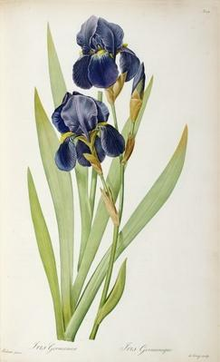 Iris Germanica, from `Les Liliacees', 1805