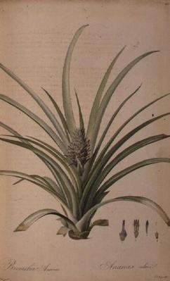Bromelia Ananas, from 'Les Bromeliaceae', by Pierre-Joseph Redoute, 19th century