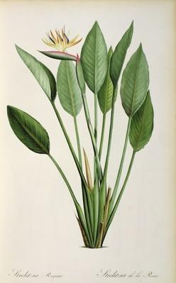 Strelitzia Reginae, from 'Les Strelitziaceae'