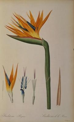 Strelitzia Reginae, from 'Les Strelitziacees'