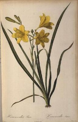 Hemerocallis Flava, from 'Les Liliacees'