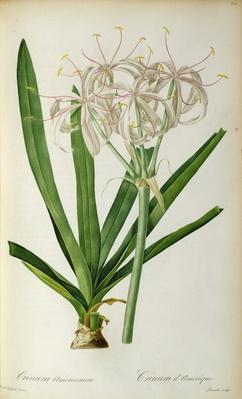 Crinum Americanum, from `Les Liliacees', 1805-16