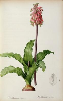 Veltheimia Capensis, from `Les Liliacees', c.1805