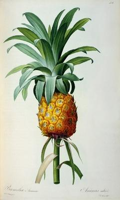 Bromelia Ananas, from 'Les Bromeliacees'