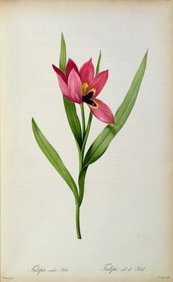 Tulipa oculus-solis, from 'Tulipe des Jardins', 19th century
