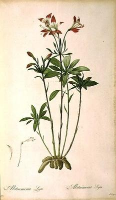 Alstraemeria Ligtu, from `Les Liliacees' by Pierre Redoute, 8 volumes, published 1805-16,