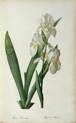 Iris Florentina, from `Les Liliacees', 1805