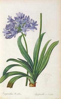 Agapanthus umbrellatus, from `Les Liliacees' by Pierre Redoute, 8 volumes, published 1805-16,