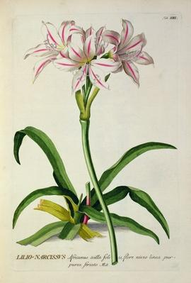Lilio-Narcissus, Africanus, from 'Plantae Selectae' by Christoph Jakob Trew
