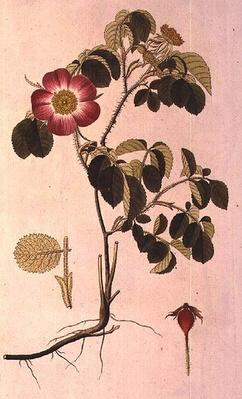 Rosa Pumila, from 'Les Roses' Vol II, 19th century