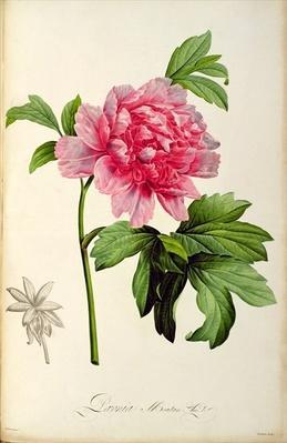 Paeonia Moutan, c.1799