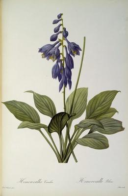 Hemerocallis Caerulea, from `Les Liliacees', 1806