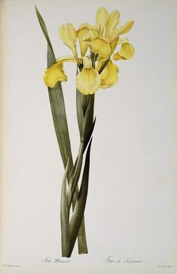 Iris Monnieri, from `Les Liliacees', 1808