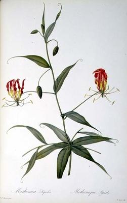 Methonica Superba, from `Les Liliacees', 1809