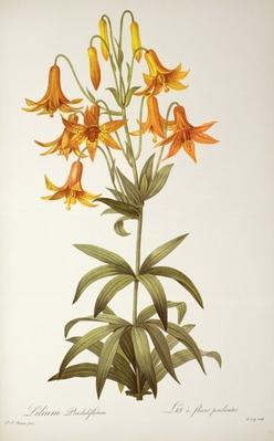 Lilium Penduliflorum, from `Les Liliacees', 1811