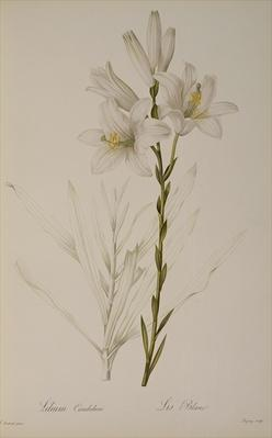 Lilium Candidum, from `Les Liliacees', 1807