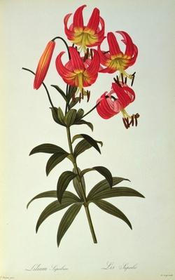 Lilium Superbum, from `Les Liliacees', 1805