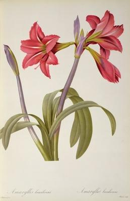 Amaryllis Brasiliensis, from `Les Liliacees' by Pierre Redoute, 8 volumes, published 1805-16,