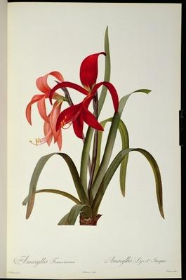 Amaryllis Formosissima, 1808, from `Les Liliacees' by Pierre Redoute, 8 volumes, published 1805-16,