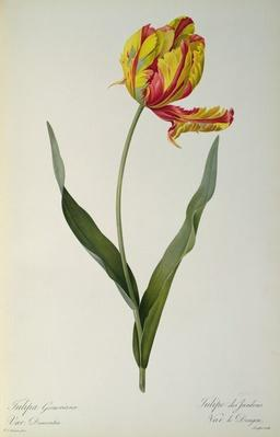Tulipa gesneriana dracontia, from `Les Liliacees', 1816