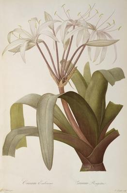 Crinum Erubescens or Crinum Rougeatre, from `Les Liliacees', 1803, published 1805-16