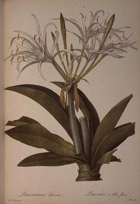 Pancratium speciosum, from `Les Liliacees', 1806