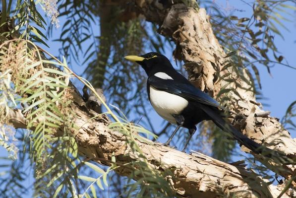 Calfiornia Yellow Billed Magpie (pica nuttalli)