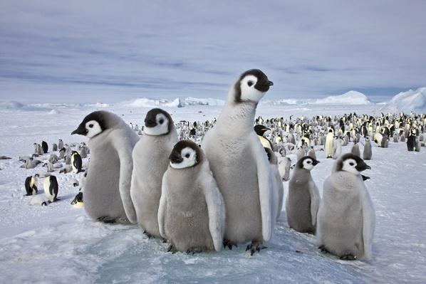 Emperor Penguin (Aptenodytes forsteri)  | Animals, Habitats, and Ecosystems
