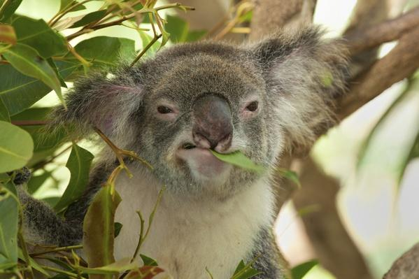 Koala | Animals, Habitats, and Ecosystems
