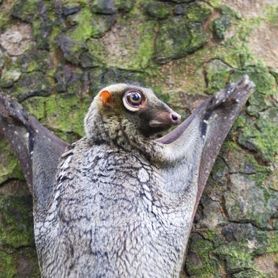 Sunda Flying Lemur | Animals, Habitats, and Ecosystems