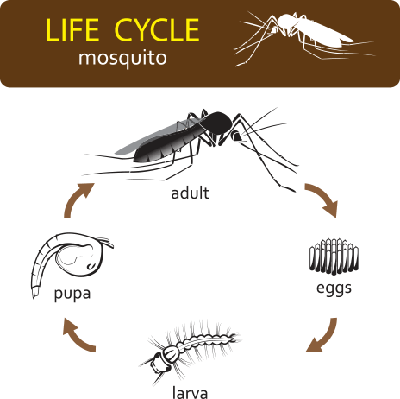 life cycle of mosquito | Plants and Animals