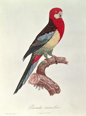 Omnicoloured Parakeet