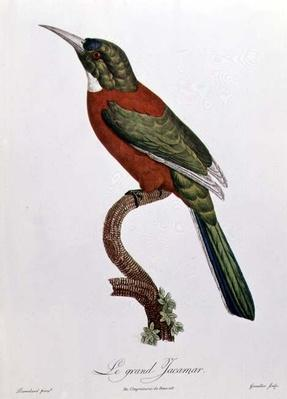 Great Jacamar, engraved by Gromillier