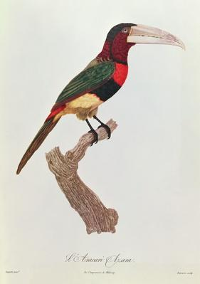 Azara Aracari, engraved by Barriere