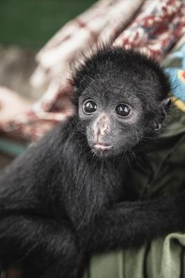 Rescued spider monkey holds on to owner