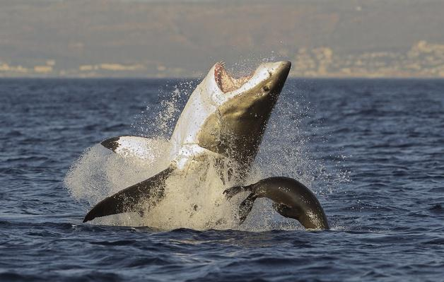 Great White Shark  breaching | Animals, Habitats, and Ecosystems