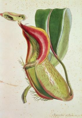 Pitcher plant: Nepenthes villosa