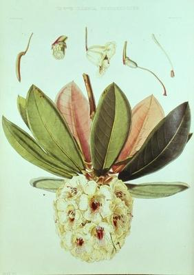 Rhododendron Wightii, from 'Rhododendrons of the Sikkim Himalaya' by J.D. Hooker