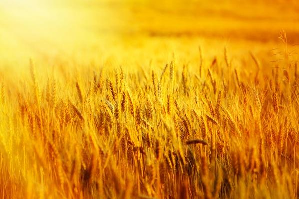 Wheat Filed at Sunset | Earth's Resources