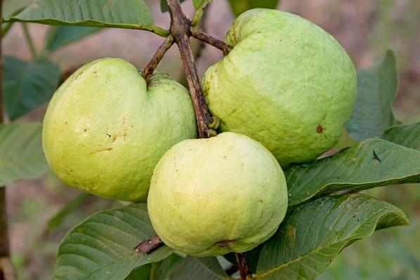 Guava Fruit on the Tree (Psidium Guajava) | Earth's Resources
