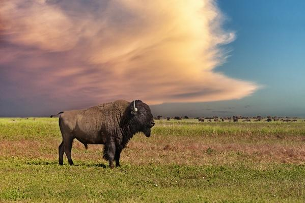 American bison at sunset | Near Threatened