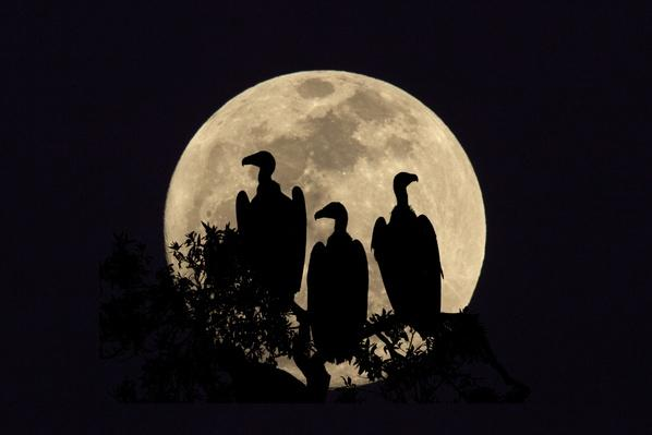 Ruppell's Vultures silhouetted against full moon