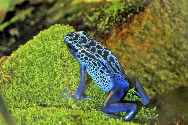 Blue and Black Poison Dart Frog | Animals, Habitats, and Ecosystems