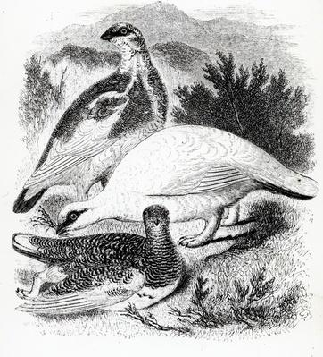 The Ptarmigan, illustration from 'A History of British Birds' by William Yarrell, first published 1843