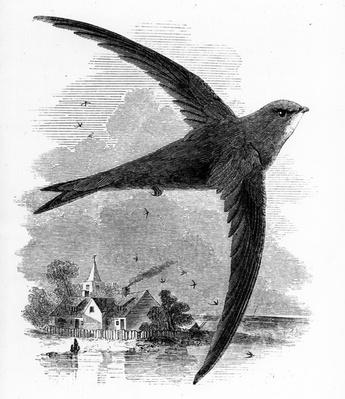 The Common Swift, illustration from 'A History of British Birds' by William Yarrell, first published 1843