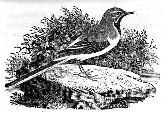 The Grey Wagtail, illustration from 'A History of British Birds' by Thomas Bewick, first published 1797