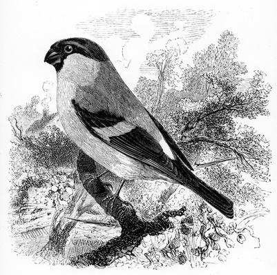 The Bullfinch, illustration from 'A History of British Birds' by William Yarrell, first published 1843